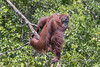Wild orangutan sitting on a branch by the Sekonyer River, Tanjug Puting NP, Indonesia