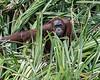 Wild orangutan looking out from river side Pandanus palms, Tanjung Puting National Park, Kalimantan, Indonesia