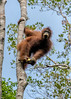 High up a tree, an orangutan hangs on while eating bananas, Tanjung Puting National Park, Kalimantan, Indonesia