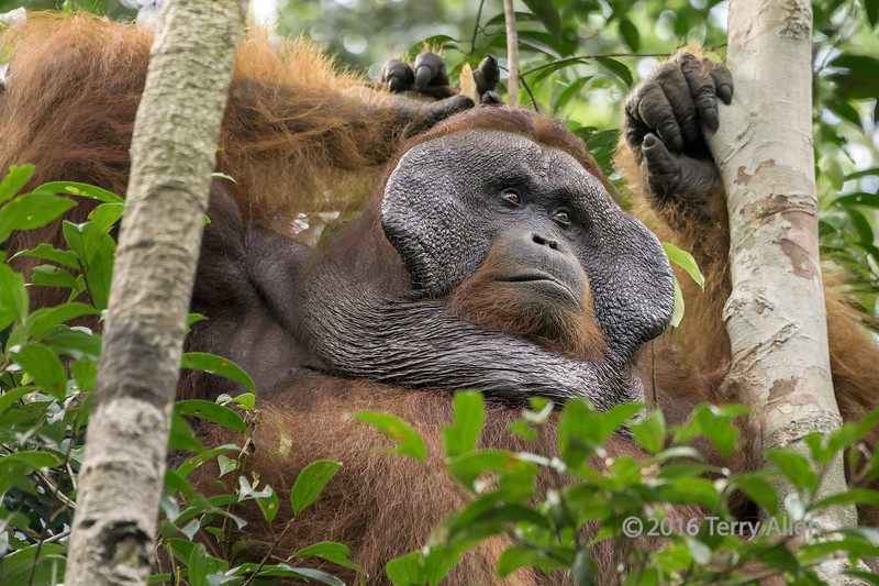 Flanged male orangutan relaxing in a tree, Tanjung Puting National Park, Kalimantan, Indonesia