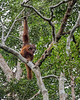 Mother and baby orangutan high in a tree, Tanjung Puting National Park, Kalimantan, Indonesia