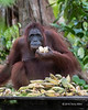 Female orangutan trying to eat her way through a pile of bananas at a feeding station, Tanjung Puting NP, Indonesia