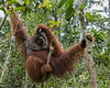 Dominant wild male orangutan in the forest with hand on head, Tanjung Puting National Park, Kalimantan, Borneo