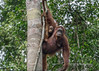 Mother orangutan and look-alike baby high in a tree, Tanjung Puting National Park, Kalimantan, Indonesia
