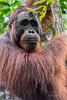 Close-up of a wild orangutan in the forest along the Sekonyer River, Tanjung Puting NP, Kalimantan, Borneo