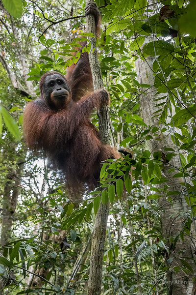 Wild orangutan in the  tropical heath and peat swamp forest along the Sekonyer River, Tanjung Puting NP, Kalimantan Province, Borneo Island
