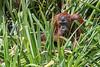 Orangutan in palmetto grass, Tanjung Puting NP, Borneo Island