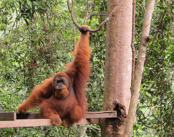 Male Orangutan on feeding platform © Russ Brooks