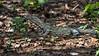 Smaller Komodo dragon in some leaf litter, Loh Buaya Komodo National Park, Rinca Island, Indonesia