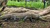Muddy Komodo dragon in the woods looking like a tree, Loh Buaya Komodo National Park, Rinca Island, Indonesia