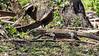 Komodo lizard 'smelling' with its tongue, Loh Buaya Komodo National Park, Rinca Island, Indonesia