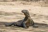 Komodo lizard strking a nice pose, Loh Buaya Komodo National Park, Rinca Island, Indonesia