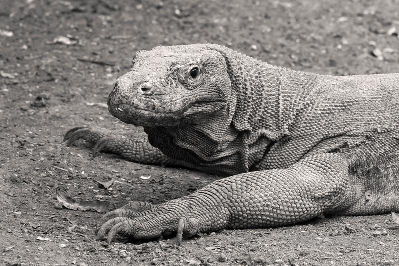 Portrait of a Komodo dragon, Loh Buaya Komodo National Park, Rinca Island, Indonesia