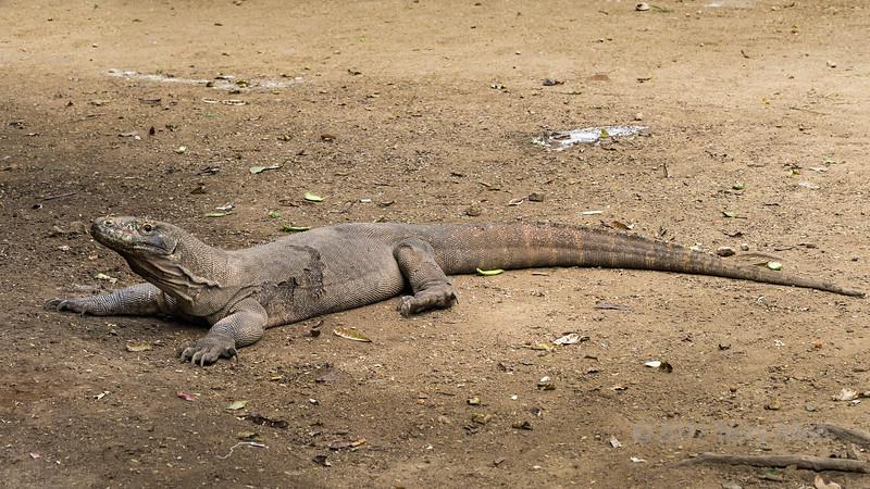 Komodo dragon in the process of shedding its skin, Loh Buaya Komodo NP, Rinca Island, West Flores, Indonesia