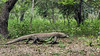 Muddy Komodo dragon wallking through the forest, Loh Buaya Komodo National Park, Rinca Island, Indonesia