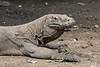 Close-up of a Komodo dragon with patches of shedding skin and ticks, Loh Buaya Komodo NP, Rinca Island, Indonesia
