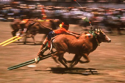 Bull races, Madura,  racing for the finishline