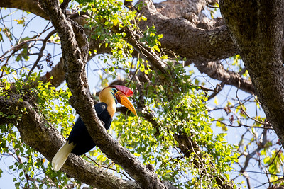 beautifull Knobbed hornbill
