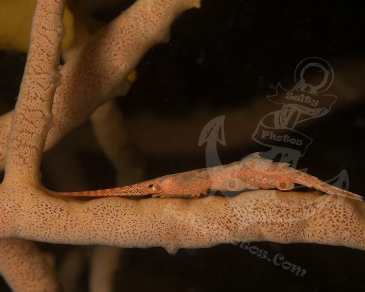 Tozeuma Shrimp (Tozeuma lanceolatum)