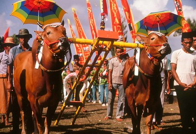 Bull races, Madura, Indonesia, pre-race parade