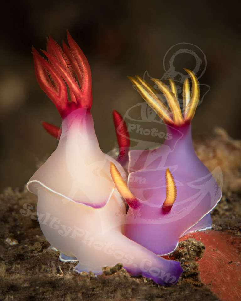 Nudibranch love (Hypselodoris bullockii)