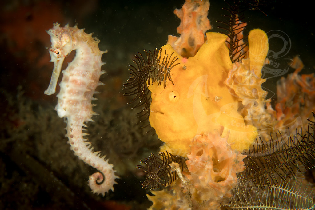 Spiny Seahorse (Hippocampus histrix) and Painted Frogfish (Antennarius pictus)