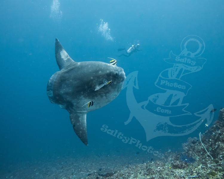 Ocean Sunfish (Mola mola)