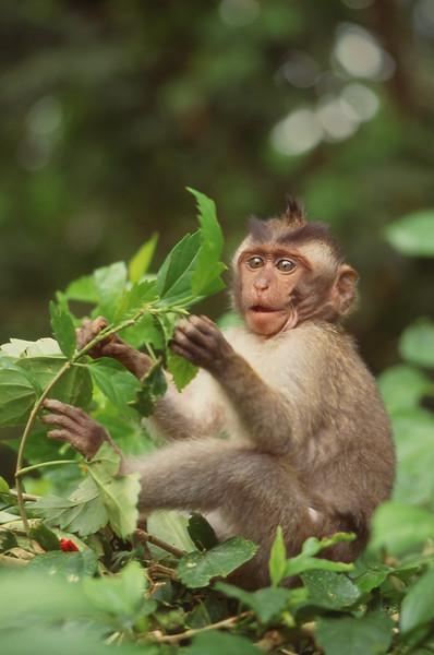 Macaque monkey in Ubud Monkey Forest, Bali, Indonesia.