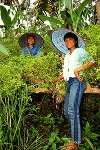 Tea pickers, Sumatra