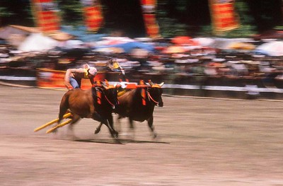 Bull races, Madura,  racing for the finishline, #2