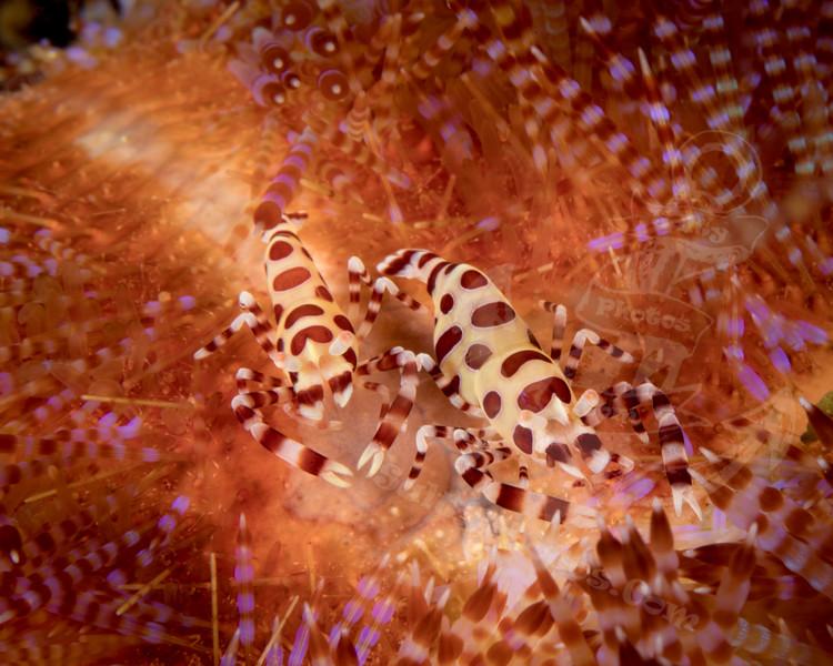 Coleman Shrimp (Periclimenes colemani)