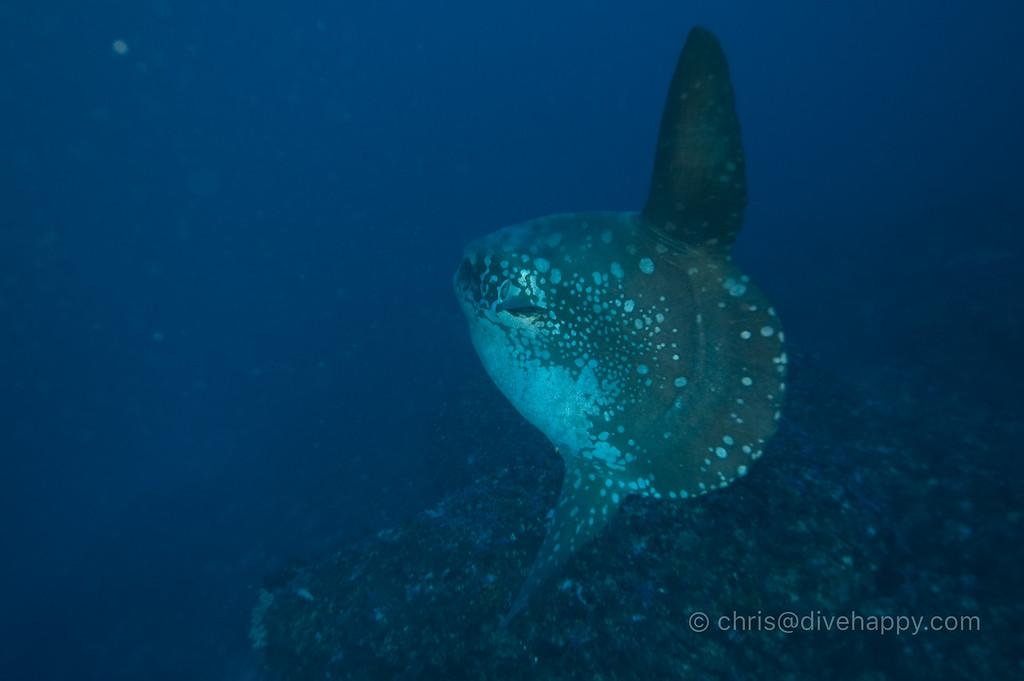 Mola Mola, Blue Corner, Nusa Lembongan, Bali