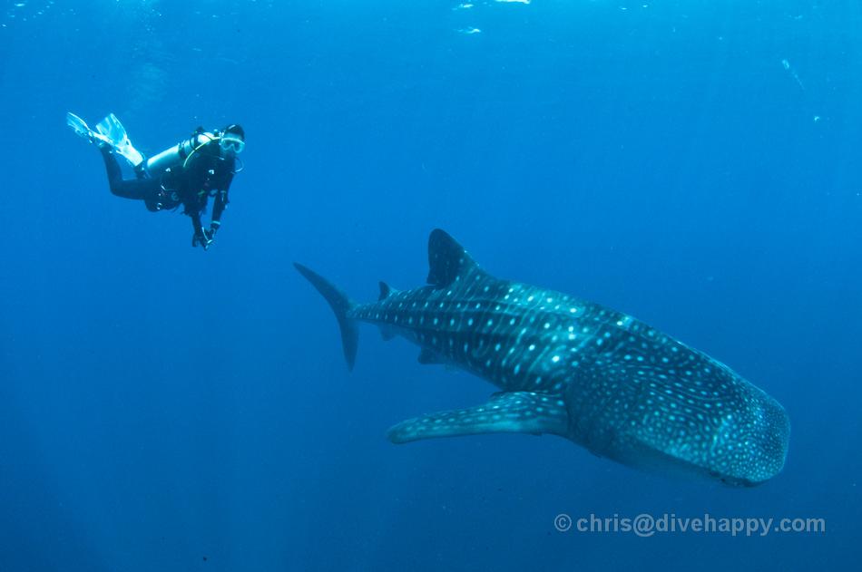 Whale Sharks underneath Bagans (Fishing Platforms) at Kwatisore, Cendrawasih Bay, Indonesia