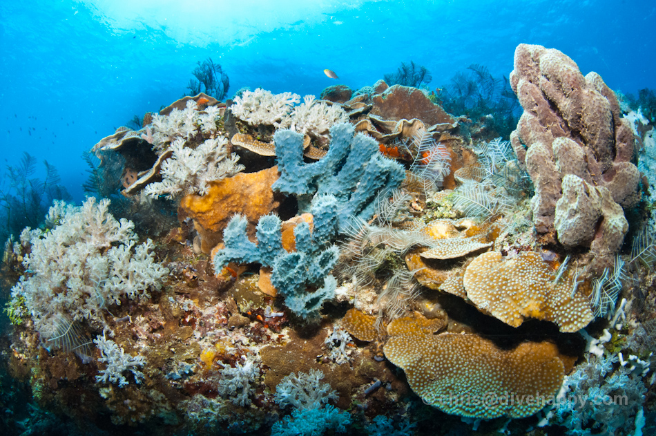 Warmari Reef, nr Woka Lighthouse, Cenderawasih Bay, Indonesia