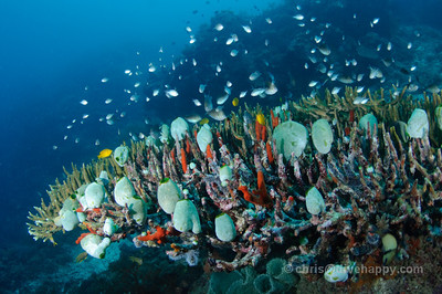 Large table coral at Menjangan