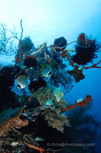 Two angelfish amongst the coral at Menjangan