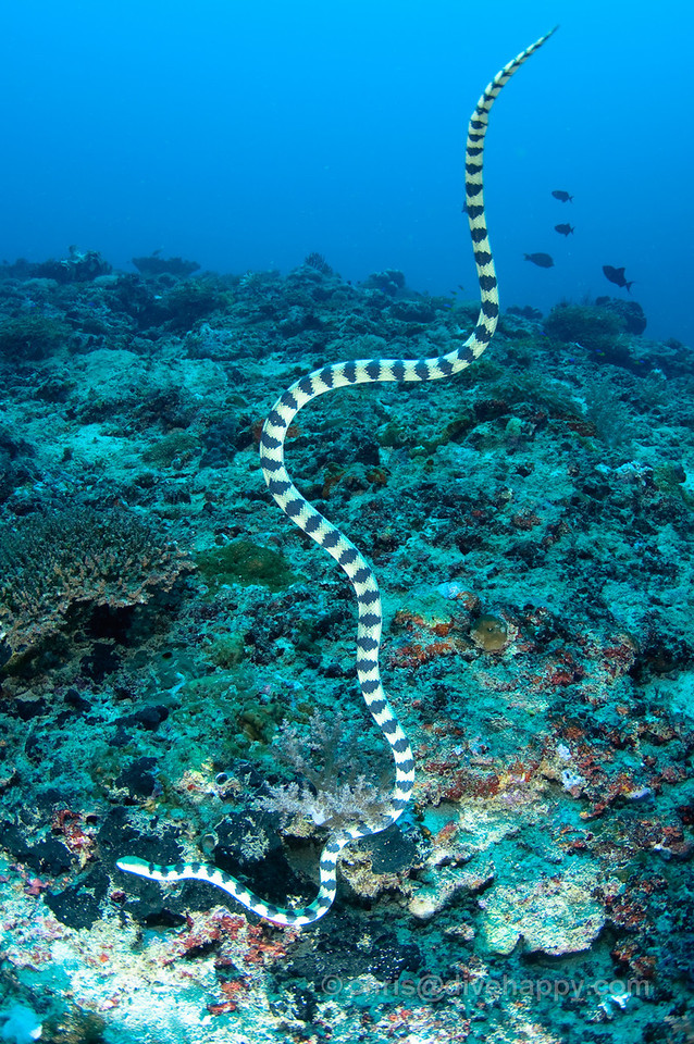 Sea snake drops from the surface onto the reef at Menjangan, Bali