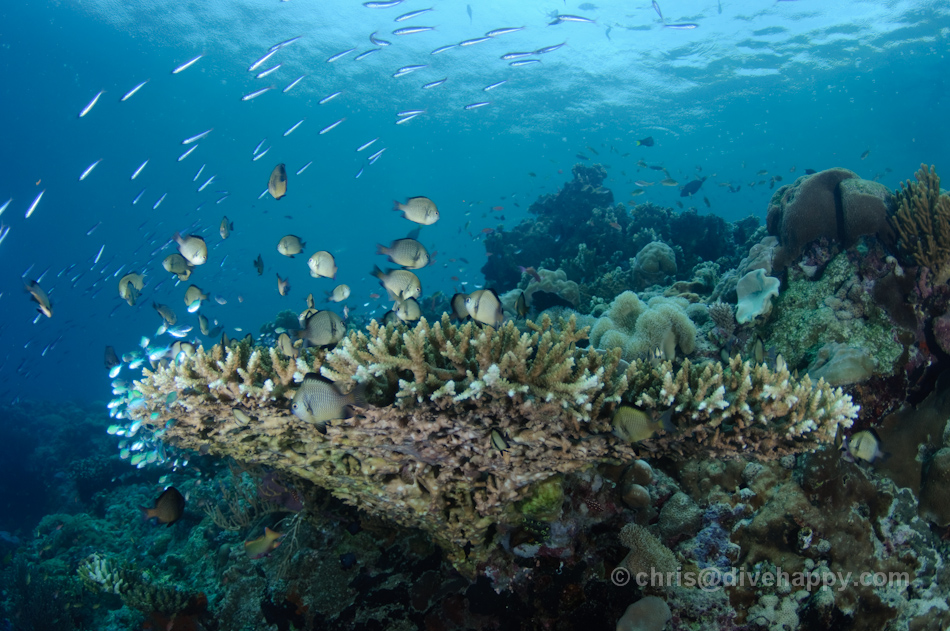 A school of fish passes over a large table coral at Menjangan