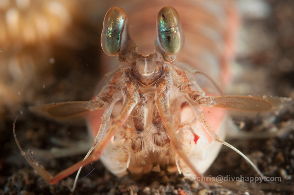 Mantis shrimp closeup at Pura Jari