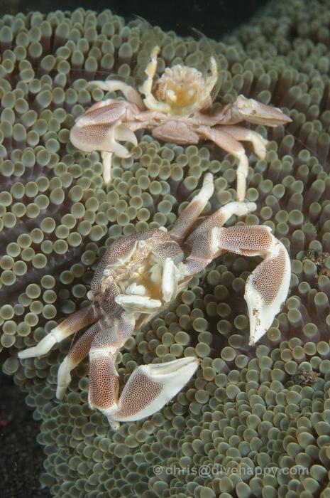Porcelain crabs at Puta Jari (PJ), Pemeturan, Bali