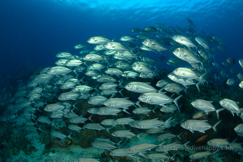 School of Jacks, Blue Magic, Raja Ampat