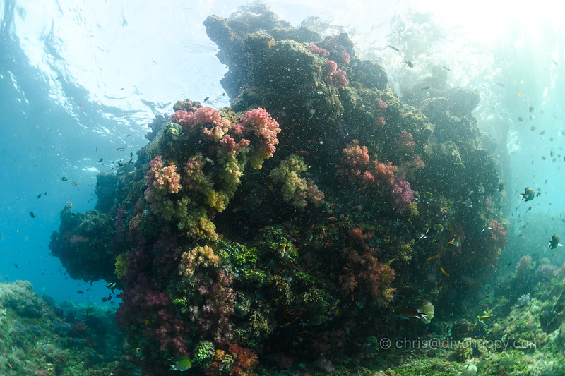 Soft corals in the shallows, Tank Rock, Raja Ampat