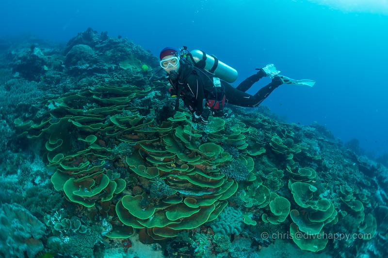 Diver over lettuce corals, Melissa's Garden, Raja Ampat