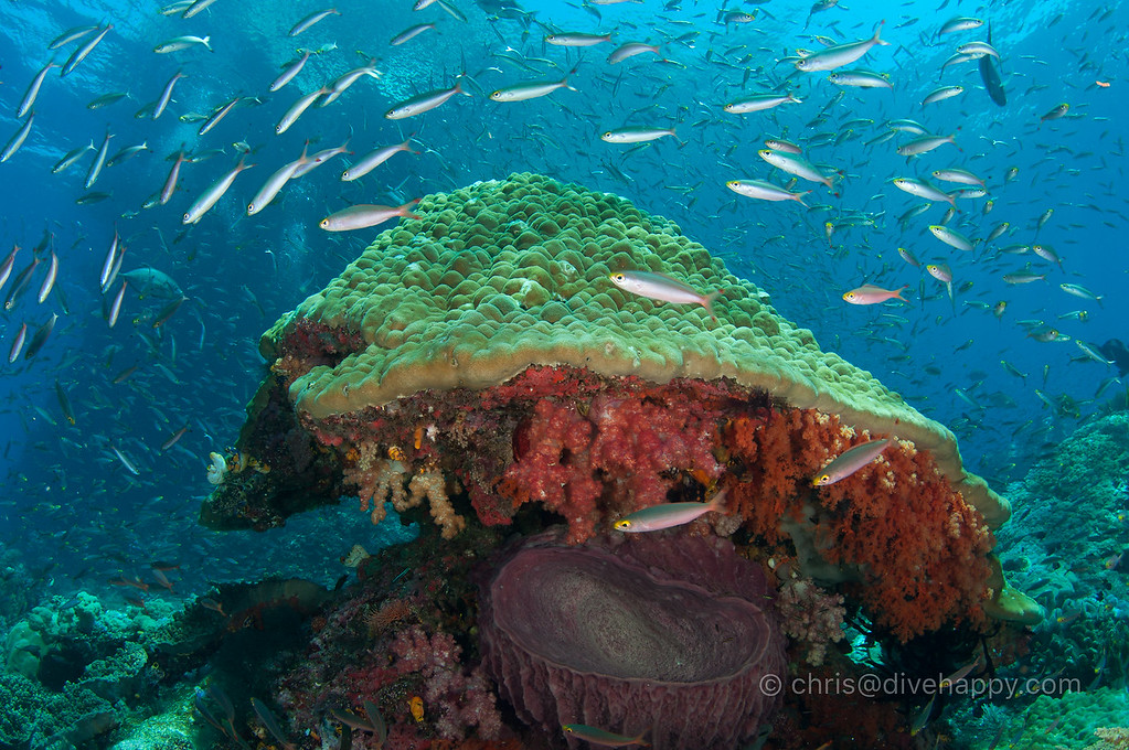 Coral bommie and the racing fish, Raja Ampat