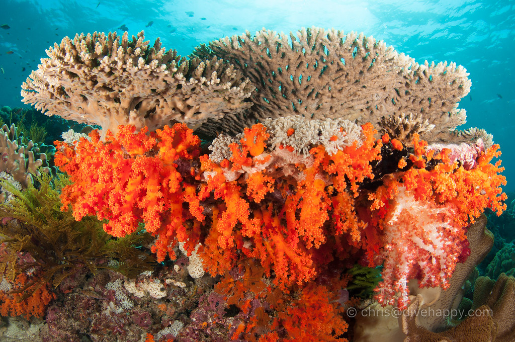Hard and Soft Corals, Koon Island