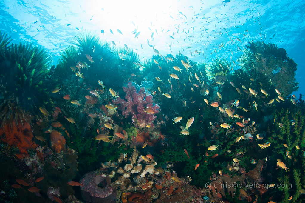 Anthias and hard coral, Nusa Laut