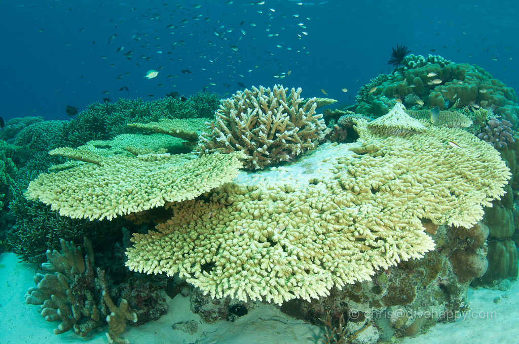 Spaceship table corals, Nusa Laut
