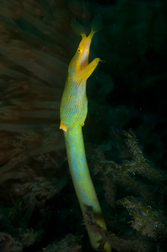 Female Ribbon Eel