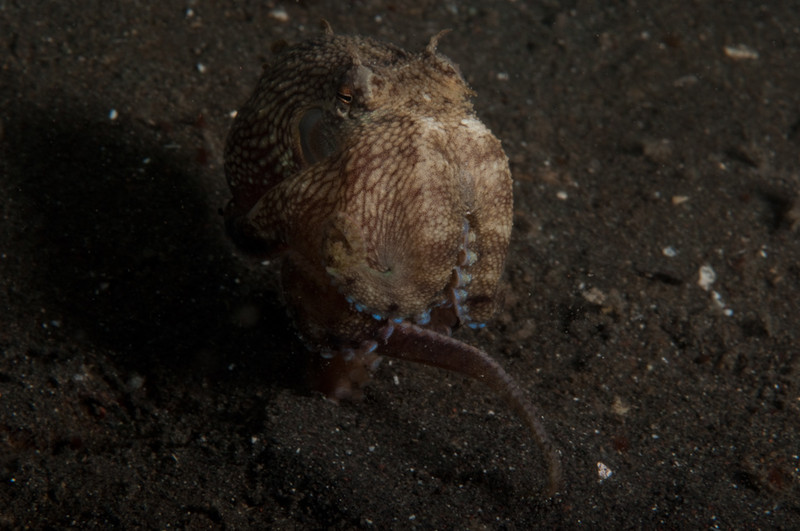 An octopus literally running backwards away from the camera