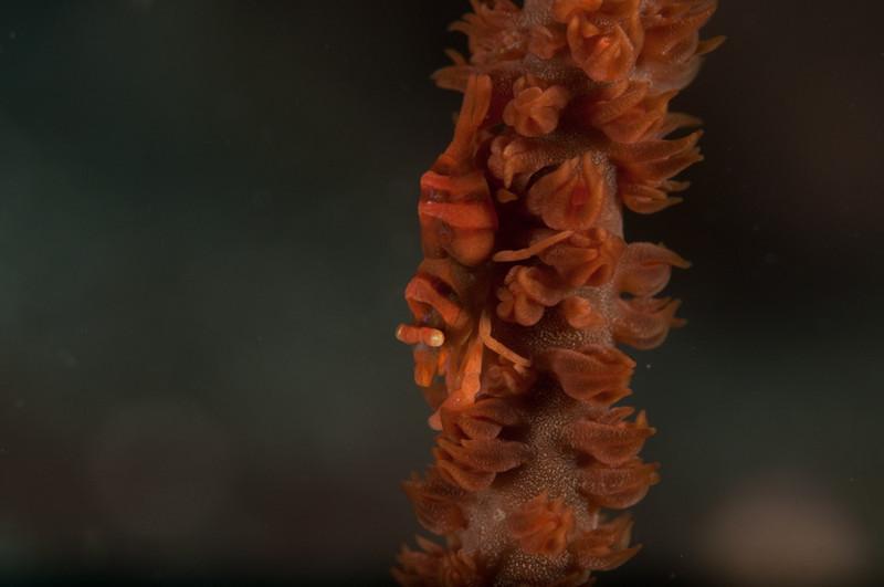 Shrimp on the vine, Lembeh